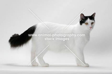 eae53f2515 black and white Turkish Van cat