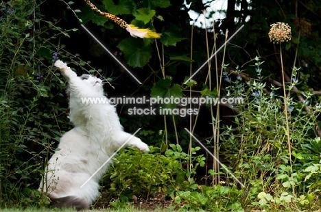 Ragdoll cross Persian playing in garden
