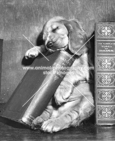 Cocker Spaniel puppy sleeping on book
