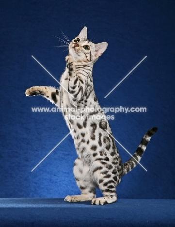 Bengal on hind legs