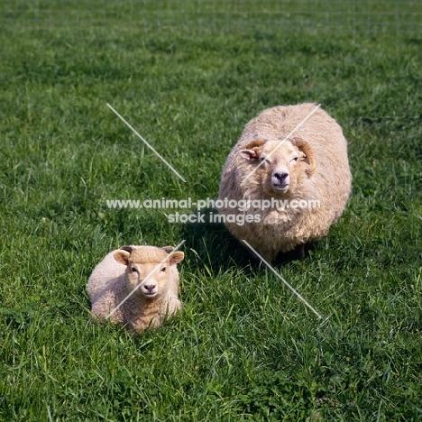 portland ewe and lamb at norwood farm looking up at camera