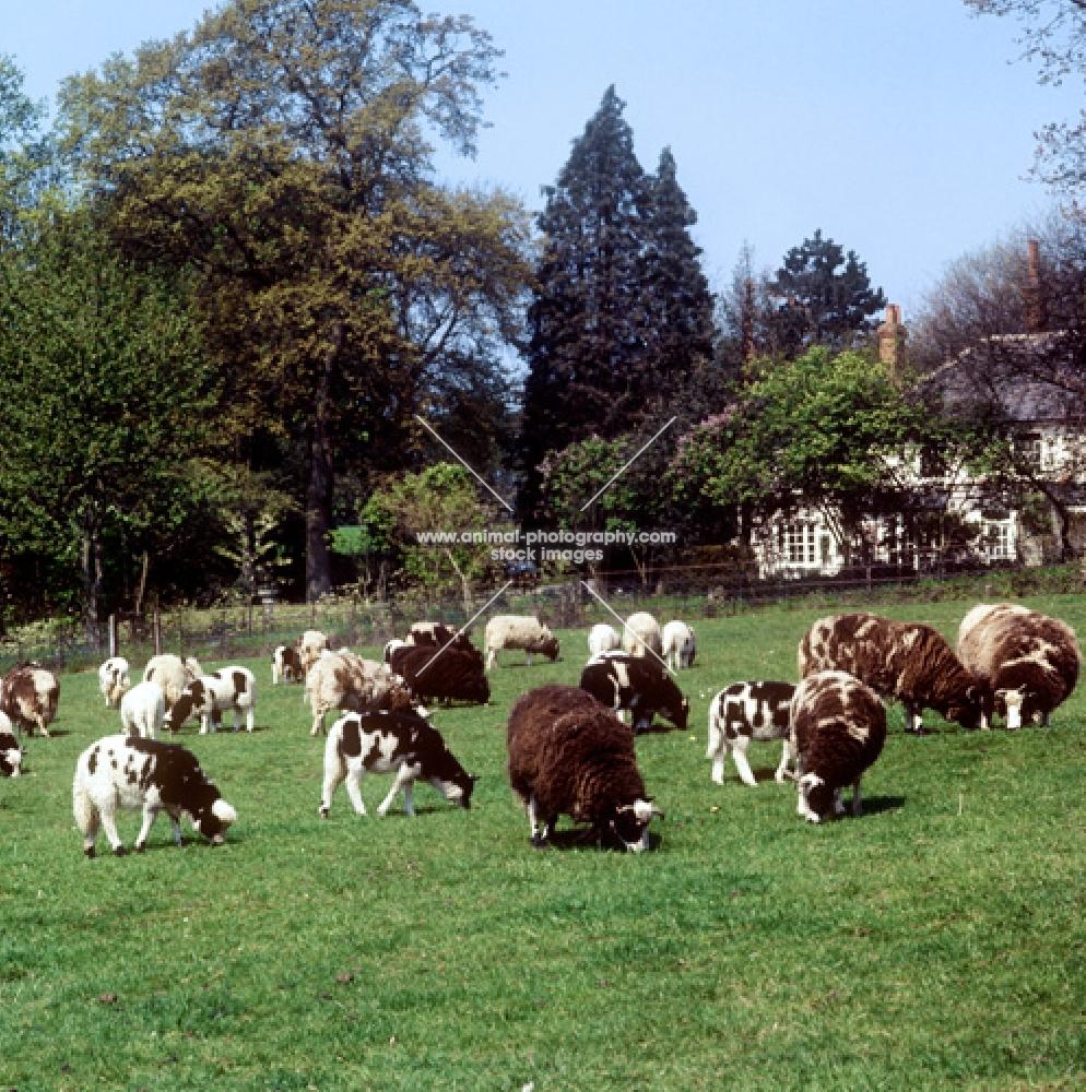 group of  jacob sheep grazing