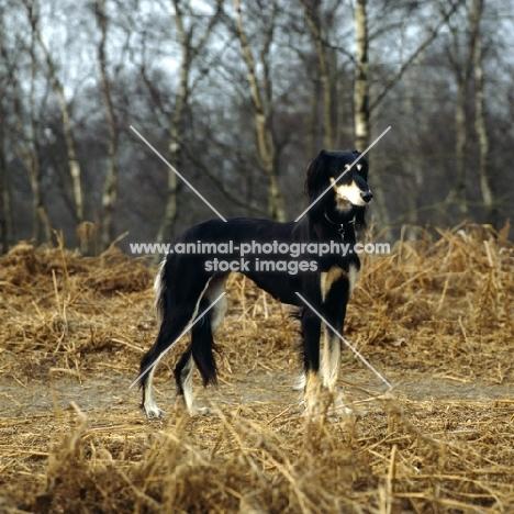 Saluki standing in clearing, ch Burydown Hephzibah