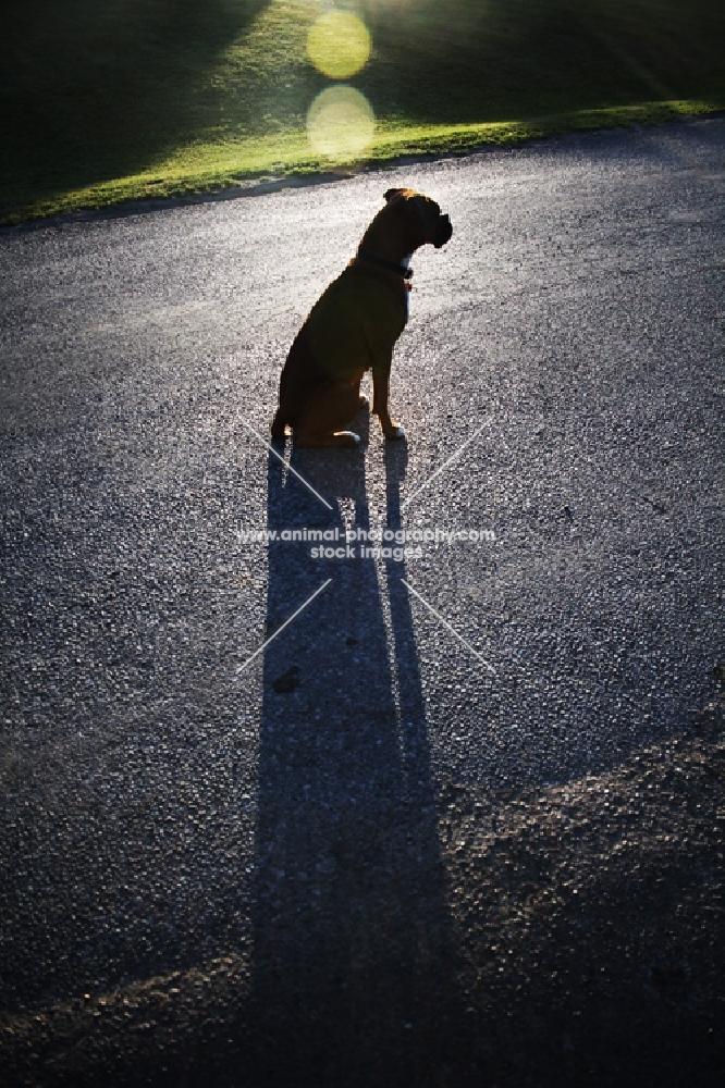 Boxer watching road