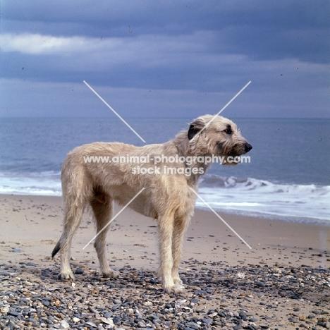 ballykelly torram, irish wolfhound on seashore