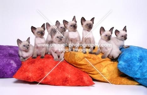 litter of 9 Siamese kittens