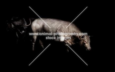 charolais bull in france