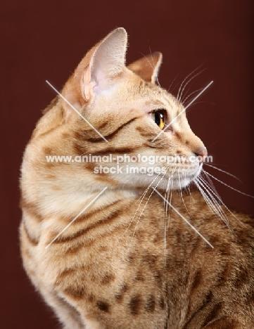 Ocicat looking away