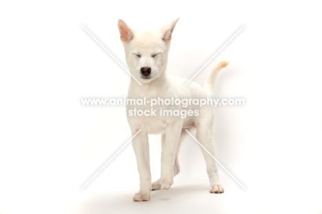 Kishu puppy, eyes closed