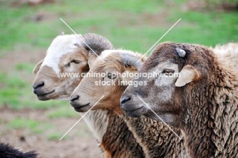 three Nguni sheep
