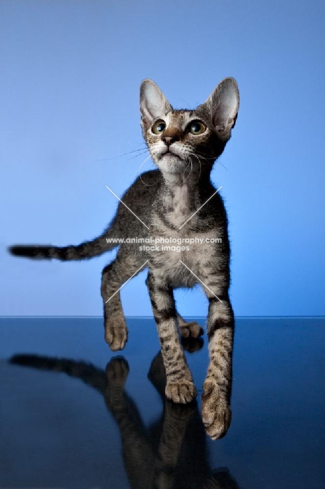 peterbald kitten walking towards camera, looking up