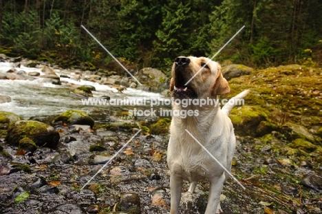 cream Labrador Retriever barking