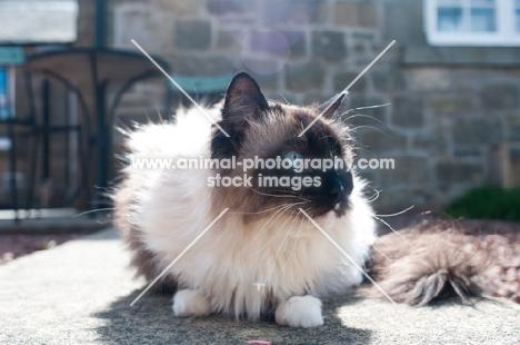 Ragdoll cat on patio in sunshine