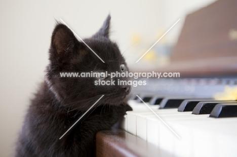 tiny black kitten playing the piano keys