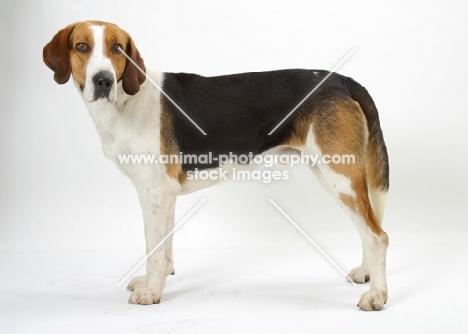 Australian Champion Foxhound standing on white background