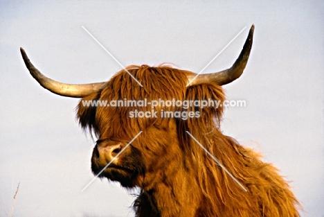 highland cow on eriskay island
