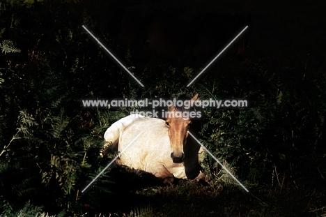 new forest pony lying on bracken