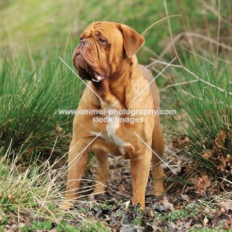 alert Dogue de Bordeaux