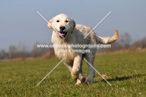 young Golden Retriever running in field