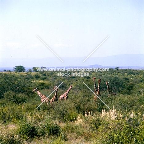 six giraffes from a distance, samburu np, africa