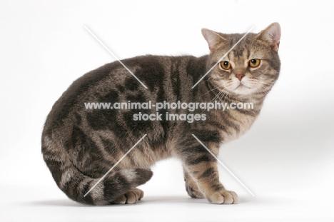 Blue American Shorthair Cat