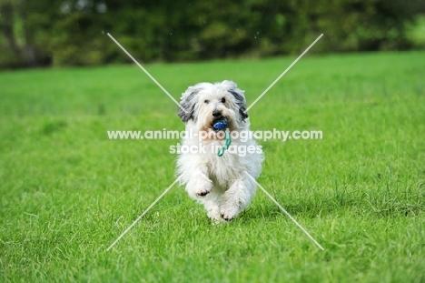 Polish Lowland Sheepdog running in field