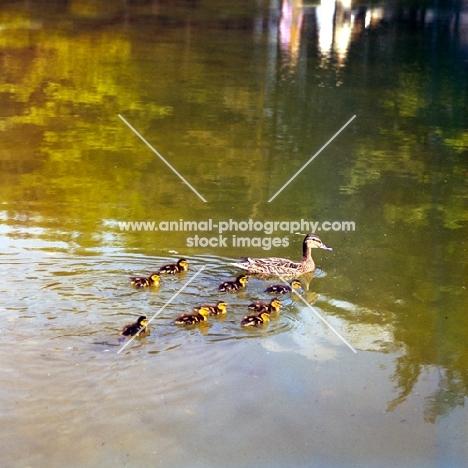 mallard with her nine ducklings