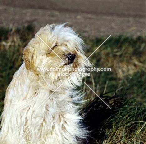 tibetan terrier in the wind