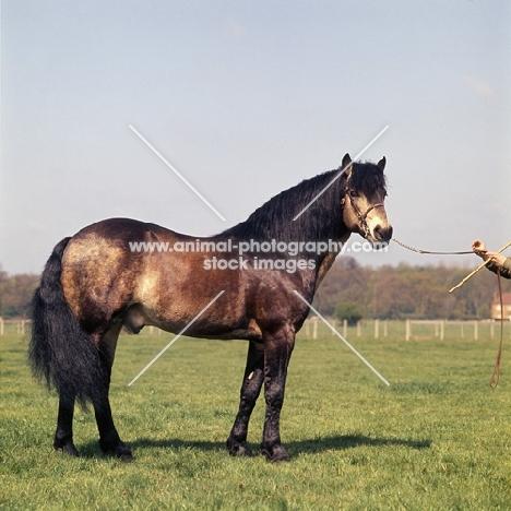 Laurel, Connemara stallion full body