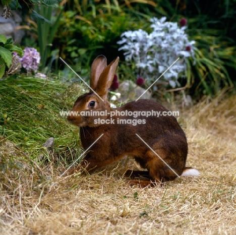belgian hare in a garden