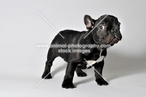 French Bulldog standing on white background