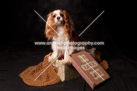 cavalier king charles spaniel on gift box