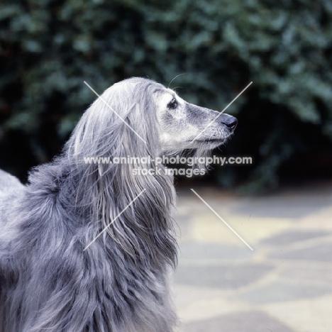 ch khanabad blue pearl, afghan hound 11 years old