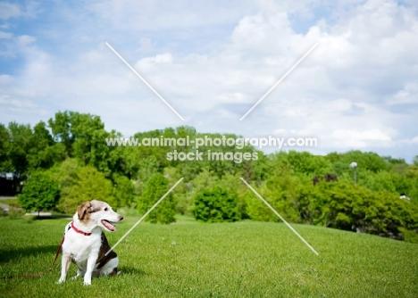 Beagle Mix sitting on grass