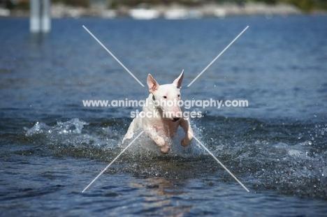 white bull terrier jumping in water