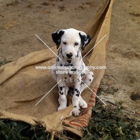 dalmatian puppy sitting on a sack