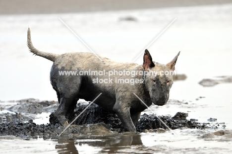 Muddy Bull Terrier