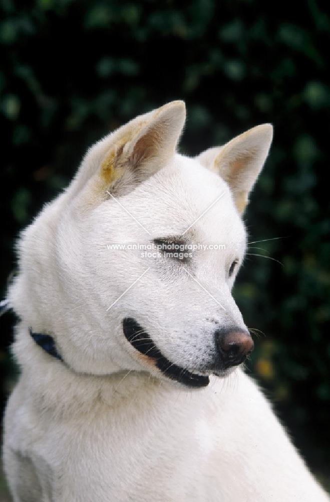 Kishu dog portrait