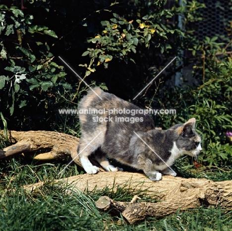 ch rosental dishy dolly, manx cat on a log