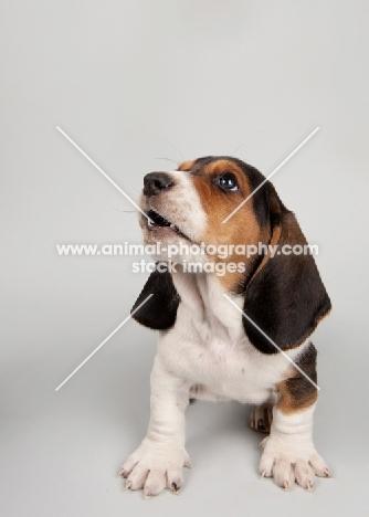 Basset Hound puppy in studio on gray background.