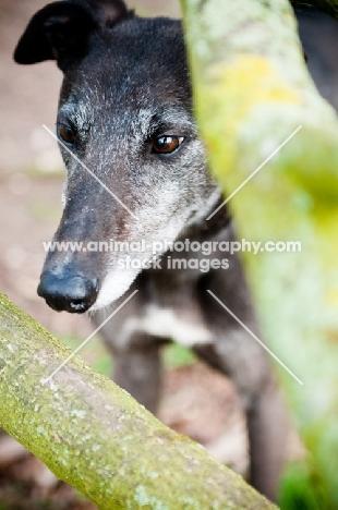 Greyhound behind branches
