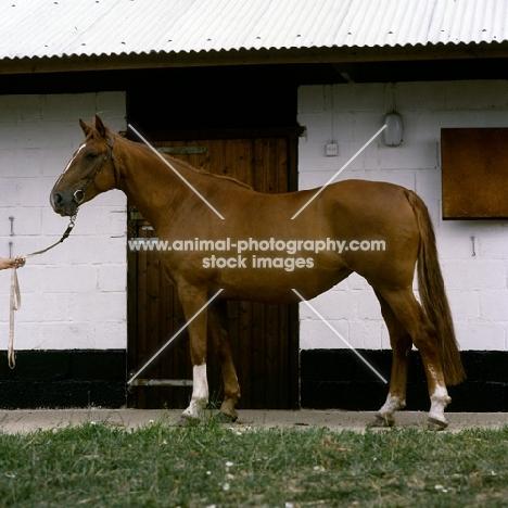 swedish warm blood mare