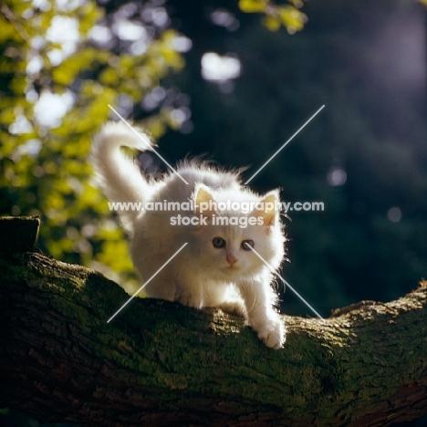 orange eyed white long hair kitten in tree