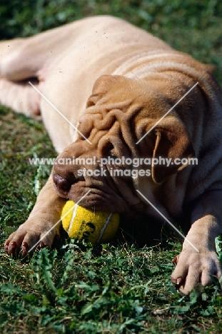 shar pei with ball