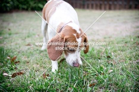 lemon beagle sniffing in grass