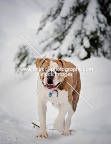 Old English Bulldog walking in winter