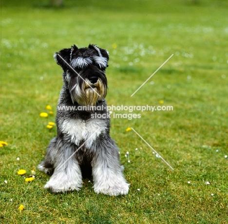 miniature schnauzer sitting on grass