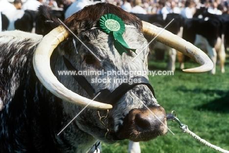 longhorn bull wearing a rosette