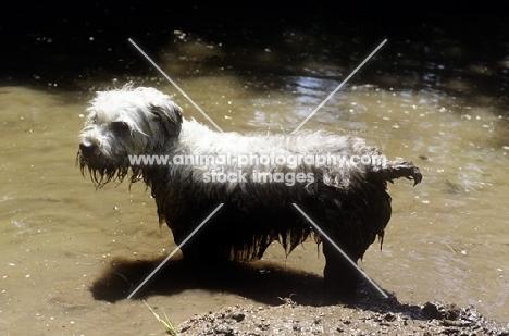 glen of imaal terrier standing in muddy water