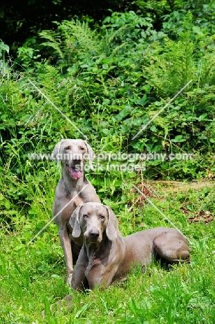 two Weimaraner dogs